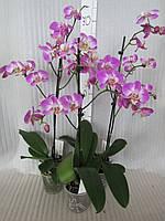 Орхидея Phalaenopsis Purple Dust яркая красотка