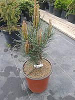 Сосна обыкновенная - Pinus sylvestris Chantry Blue (высота 60 см, горшок 15л)