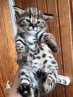 Девочка 1. Котёнок Саванна Ф1, питомник Royal Cats