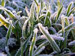 Як врятувати рослини від заморозків.