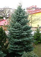 Пихта одноцветная (Abies concolor)  высота-120 см.