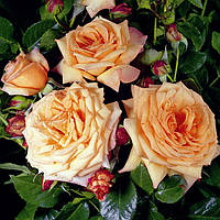 Штамбовая роза Barock
