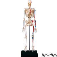 Объемная анатомическая модель 4D Master Скелет человека