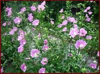 Алтей лекарственный (алтей лікарський), семена