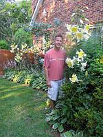 Лилия гигант Conca d'Or луковицы