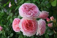 Штамбовая роза Schneewalzer