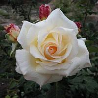 Саженец штамбовой розы Ekstrawagancia