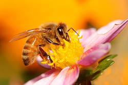 Как избежать гибели пчел во время использования удобрений