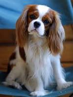 13 пород собак, идеально подходящих для маленьких квартир.