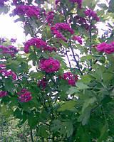 Глід розовоквітковий одноматочний (лат. Crataégus monógyna Paul Scarlet)