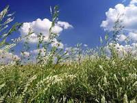 Донник белый однолетний (буркун), семена