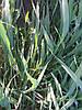 Озимая пшеница после обработки гербицидом Агент 0,5л/га от падалицы / бурьяна и фунгицидом Ти Рекс 0,5л/га от септориоза и жёлтой иржи.