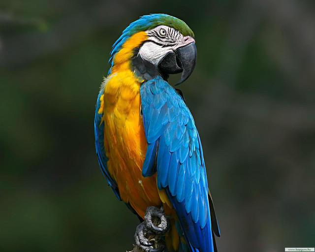 Советы по содержанию крупных попугаев.