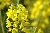 Семена рапса Селавик, Seed Grain Company