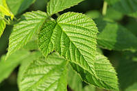 Малина лист 50 грамм