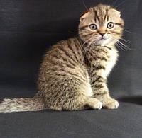 Продам шотландского алиментного (котенок первого выбора) котенка Scottish Fold SFS 24, Black spotted tabby, по