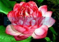 Лотос орехоносный Camellia Red  1 сем