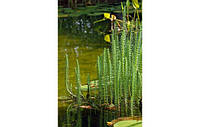 Водяная сосенка,хвостник (Hippuris vulgaris) (Прибрежные растения для пруда)