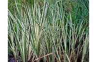 Аир обыкновенный Пестролистный (Acorus calamus Variegatus) (Прибрежные растения для пруда)