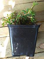 Лапчатка кущова Potentilla fruticosa (жовта) контейнер р9