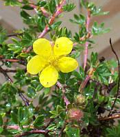 Лапчатка кущова Potentilla fruticosa (жовта) контейнер р9, фото 1
