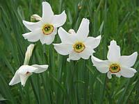 Нарцисс Tommy´s White белый