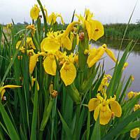 Ирис аировидный (Iris pseudacorus) (Прибрежные растения для пруда)