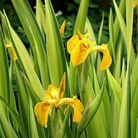 Ирис аировидный Вариегата (Iris pseudacorus Variegata) (Прибрежные растения для пруда)
