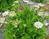 Любисток лекарственный трава 50 г