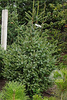 Ель сербская (Picea omorika) / H 2.0-2.5 м / ком