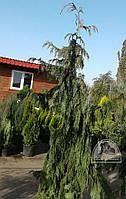 Кипарисовик нутканский Пендула (Chamaecyparis nootkatensis Pendula) С30/Н1.75-2.00 м