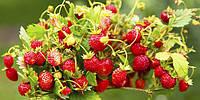 Ароматизатор Земляника «Strawberries» Baker Flavors