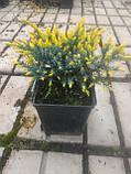 Можжевельник чешуйчатый Дрим Джой Р9 (Juniperus squamata Dream Joy), фото 4