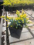Можжевельник чешуйчатый Дрим Джой Р9 (Juniperus squamata Dream Joy), фото 3