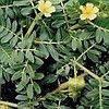Якорцы экстракт (Трибестонин) 30мл /Фитолайн/, фото 2