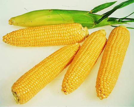 Посевная кукуруза Монсанто ДКС 3507, фото 2