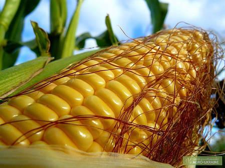 Семена гибрида кукурузы Монсанто ДКС 3705, фото 2