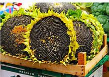 Семена подсолнечника НК Роки Syngenta, фото 3