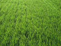 """Рекомендована технологія позакореневого підживлення озимої пшениці від ТОВ """"Мінераліс Україна"""""""