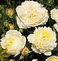 """Роза обильноцветущая """"Nina Renaissance"""" Stam C7,5 / PaEXTRA"""