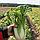 ОРІЄНТ СТАР F1 - насіння капусти пекінської, Takii Seeds, фото 2