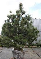 """Сосна черная """" Pinus nigra """""""