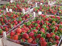 Ягоды свежей клубники (Мармелада,Хоней,Полка) урожай 2015 года