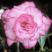Адениум Тучный Double King Blossom