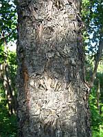 БЕРЕЗА ДАУРСКАЯ (Betula dahurica), фото 1