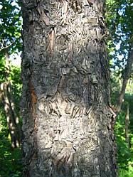 БЕРЕЗА ДАУРСКАЯ (Betula dahurica)