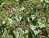 Говения сладкая или Конфетное дерево семена, фото 2