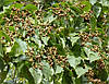Семена Говения сладкая или Конфетное дерево, фото 2