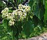 Говения сладкая или Конфетное дерево семена, фото 3