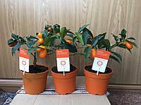 Цитрус Кумкват Маргарита высота 35см с плодами цитрусовые растения